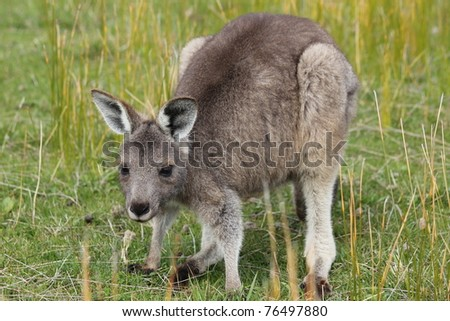Eastern Gray Grey Kangaroo Joey Marcropus giganteus - stock photo