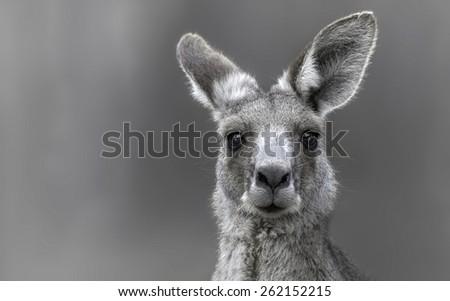 Eastern Gray Kangaroo (Macropus giganteus) portrait - stock photo
