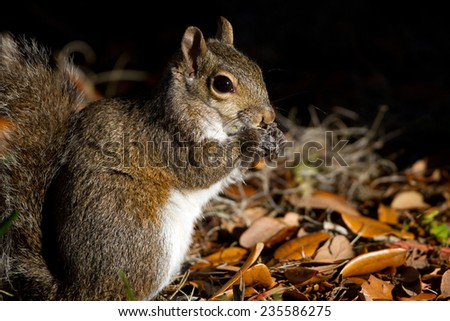 Eastern Gray Squirrel at dawn in Florida - stock photo