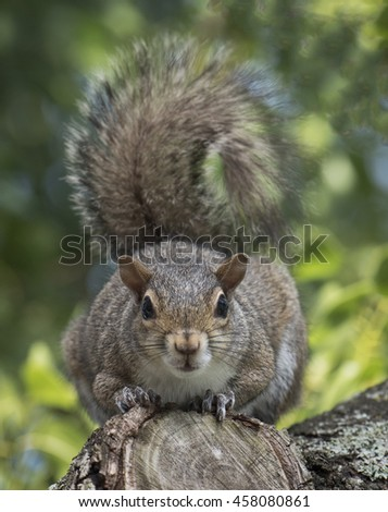 Eastern gray squirrel crouching on the stump of a cut tree branch and staring straight ahead against a blurred green leaf background.