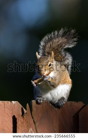 Eastern Gray Squirrel eats on a fencepost in Florida - stock photo