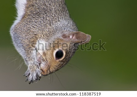 Eastern Gray Squirrel hanging upside down. - stock photo