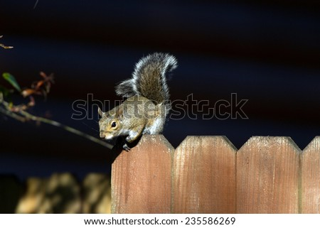 Eastern Gray Squirrel on a fencepost in Florida - stock photo