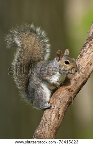 Eastern Gray Squirrel on a tree branch. - stock photo