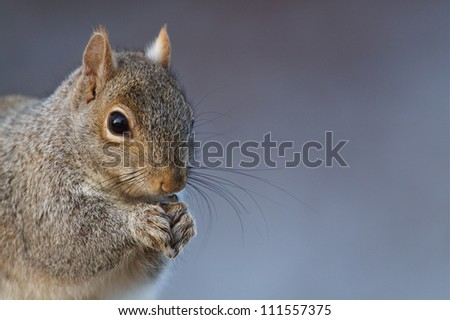 Eastern Gray Squirrel / Sciurus carolinensis, sharp, highly detailed portrait, against a cool wintry background; suburban Philadelphia, Pennsylvania