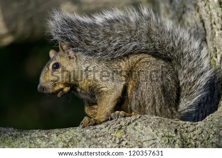 Eastern Gray Squirrel standing on a tree branch.