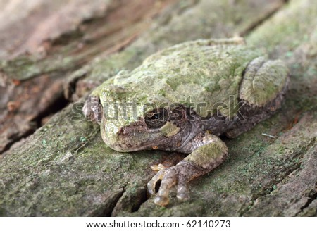Eastern gray treefrog, Hyla versicolor, on a tree