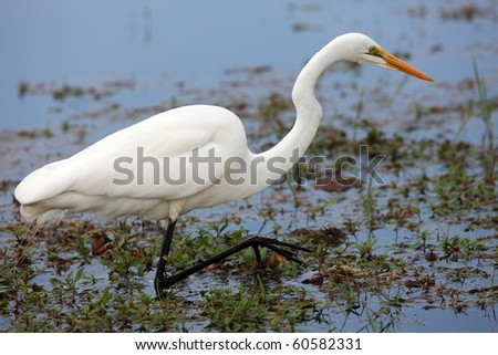 Eastern Great Egret - stock photo