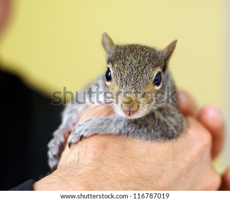 Eastern grey baby squirrel. Orphaned squirrel that was raised by humans and released back into the wild. - stock photo