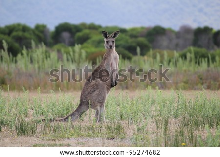 Eastern Grey Gray Kangaroo Macropus giganteus - stock photo