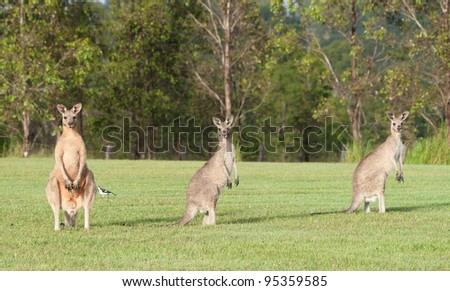 eastern grey kangaroos - stock photo
