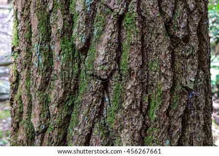 Eastern Hemlock Tree - stock photo