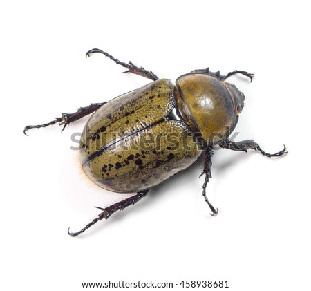 Eastern Hercules Beetle (Dynastes tityus) on a white background - stock photo
