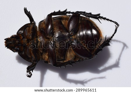 Eastern hercules beetle in Mississippi - stock photo