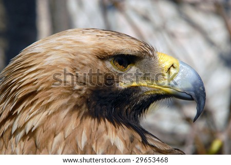 Eastern Imperial Eagle - stock photo