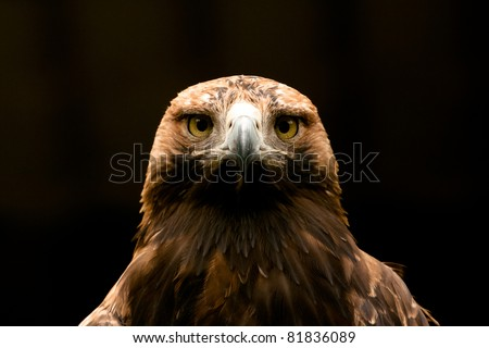 eastern imperial eagle frontal closeup stock photo