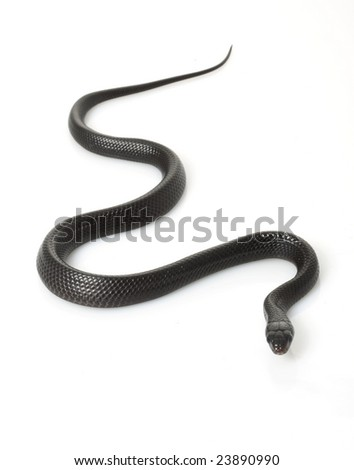 Eastern Indigo Snake (Drymarchon couperi) isolated on white background. - stock photo