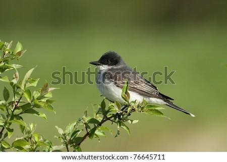 Eastern king bird resting on a tree limb in Missouri. - stock photo