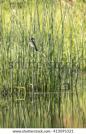 Tyrannus stock images royalty free images vectors shutterstock eastern kingbird tyrannus tyrannus perching on tall reeds emerging from a shallow lake thecheapjerseys Image collections