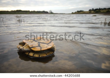 Eastern Long-Neck turtle dead in the water of the murray river. - stock photo