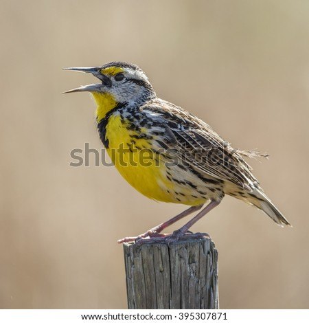 Eastern Meadowlark (Sturnella magna) Singing From a Wooden Fence Post - Florida - stock photo