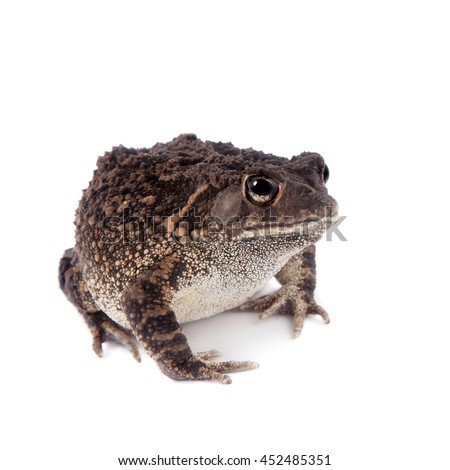 Eastern olive toad, Amietophrynus garmani, isolated on white background - stock photo