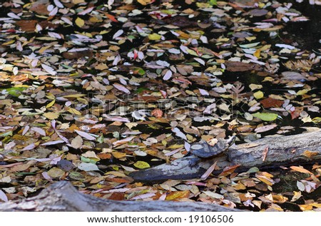 Eastern painted turtle hides in the autumn leaves while still catching some sun