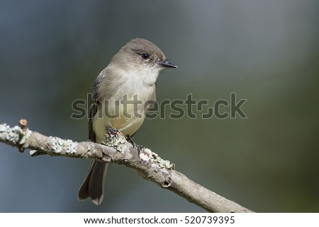 Eastern Phoebe Perched on a Branch on Louisiana November Day