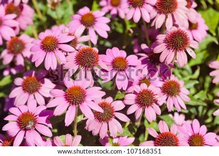 Eastern purple coneflower (Echinacea purpurea) is a species of flowering plant in the genus Echinacea. - stock photo