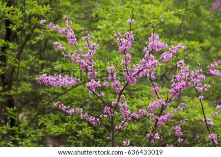 Eastern Redbud blooms agains green foliage background