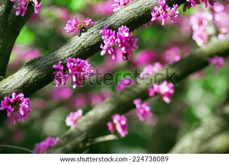 Eastern redbud tree at spring with pink flowers - stock photo