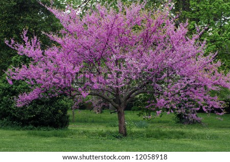 Eastern redbud tree in full bloom with sprinkling of wildflowers in the surrounding grass. - stock photo