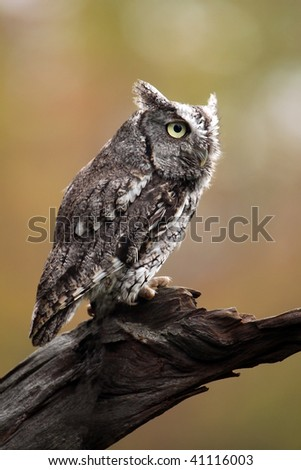 Eastern Screech Owl against a blurred background.