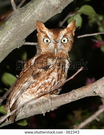 Eastern Screech owl on branch - stock photo