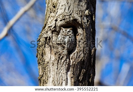 Eastern Screech Owl. This species is native to most wooded environments of its distribution and has adapted well to manmade development, although it frequently avoids detection. - stock photo