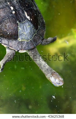 Eastern Snake-Necked Turtle - Chelodina longicollis - Australian Native Animal