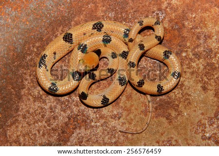 Eastern tiger snake (Telescopus semiannulatus), South Africa - stock photo