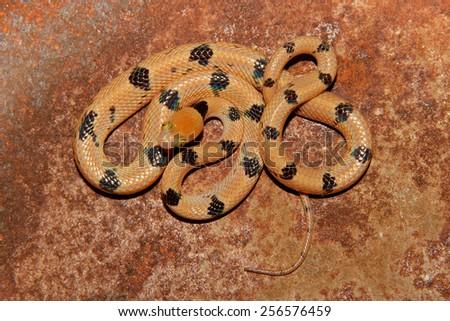 Eastern tiger snake (Telescopus semiannulatus), South Africa - stock photo