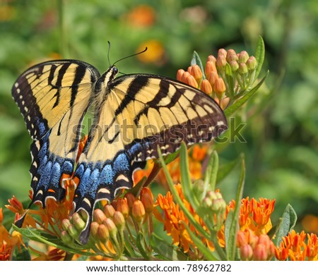 Eastern Tiger Swallowtail Butterfly Glaucus papilio - stock photo
