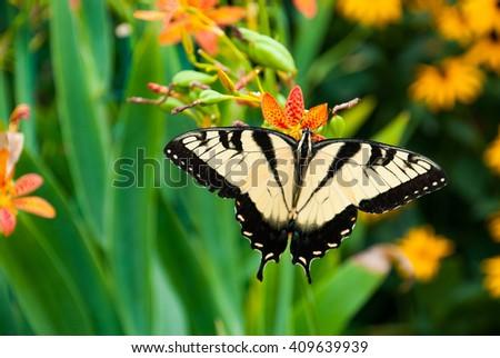 Eastern Tiger Swallowtail Butterfly in a Virginia Garden - stock photo