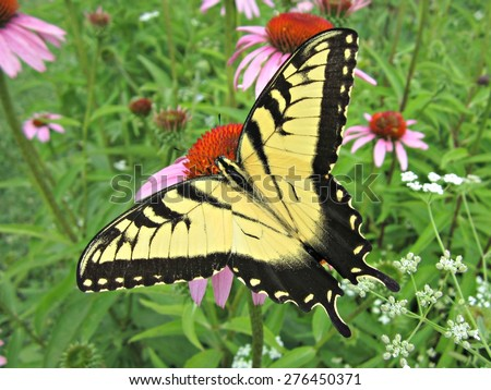 Eastern Tiger Swallowtail Butterfly on Purple Cone Flower Photo taken at seed nursery for Great Parks of Cincinnati and Hamilton County. - stock photo