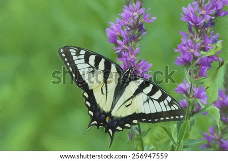 Eastern Tiger Swallowtail Butterfly on Purple Loosestrife - stock photo