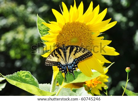 Eastern Tiger Swallowtail Butterfly on Sunflower