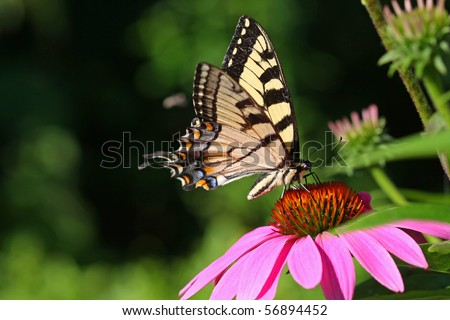 Eastern Tiger Swallowtail Butterfly Papilio glaucus - stock photo