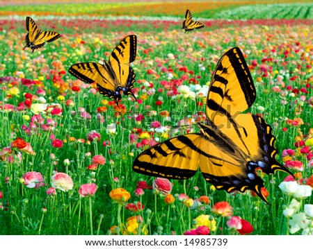 Eastern Tiger Swallowtail Butterfly's ~ Flying In Multi Colored Ranunculus Flower Fields - stock photo