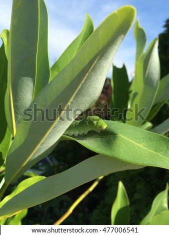Eastern Tiger Swallowtail Caterpillar