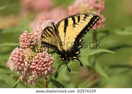 Eastern Tiger Swallowtail  feeding from a Milkweed plant In Missouri. - stock photo