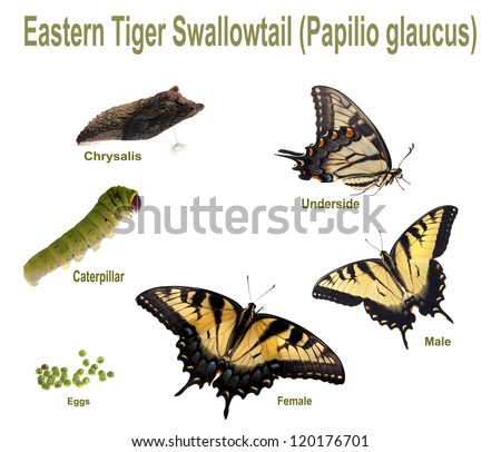 Eastern Tiger Swallowtail. Life cycle and all instars of the Eastern Tiger Swallowtail (Papilio glaucus). - stock photo