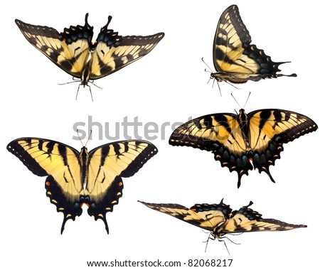 Eastern Tiger Swallowtail (Papilio glaucus), male and female in various natural positions isolated on white. - stock photo