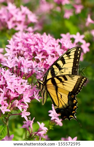 Eastern Tiger Swallowtail sipping nectar from pink flowers - stock photo